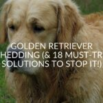 Golden Retriever Shedding (Must-Try Solutions To Stop It!)