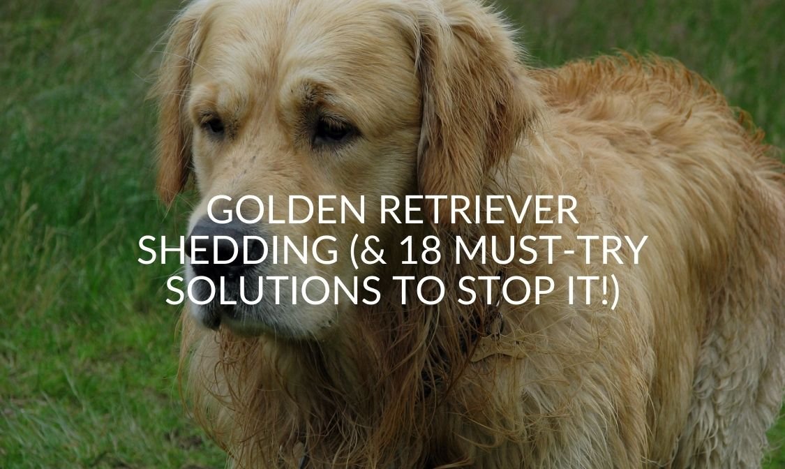 Golden Retriever Shedding (& 18 Must-Try Solutions To Stop It!)
