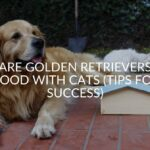 Are Golden Retrievers Good With Cats (Tips For Success)