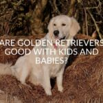 Are Golden Retrievers Good With Kids And Babies?