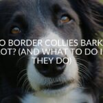 Do Border Collies Bark A Lot? (And What To Do If They Do)