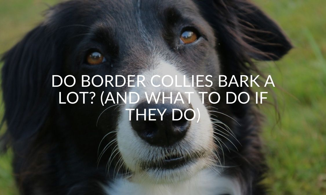 Do Border Collies Bark A Lot_ (And What To Do If They Do)