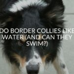 Do Border Collies Like Water (And Can They Swim?)
