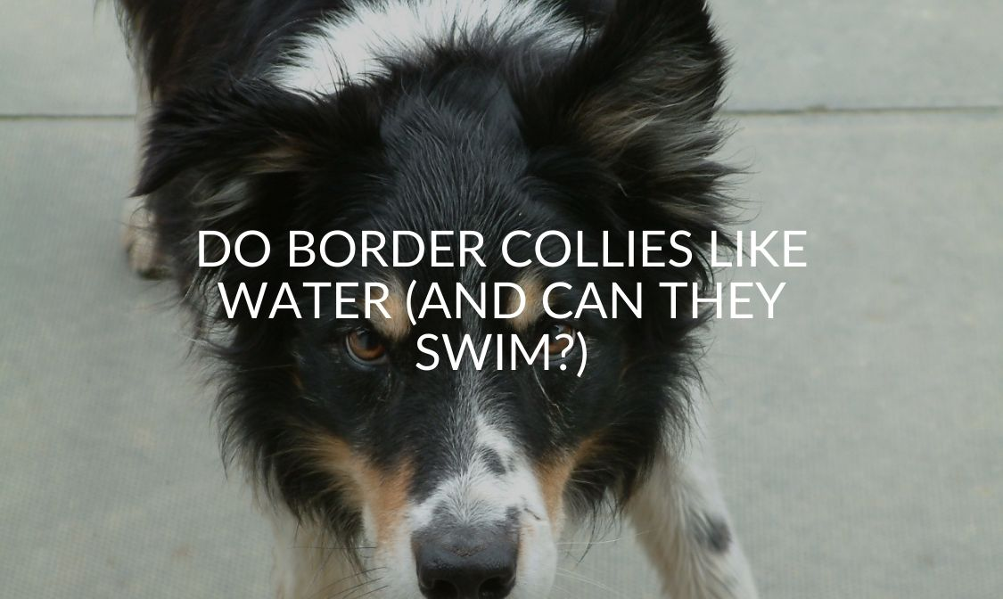 Do Border Collies Like Water (And Can They Swim_)