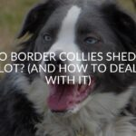 Do Border Collies Shed A Lot? (And How To Deal With It)