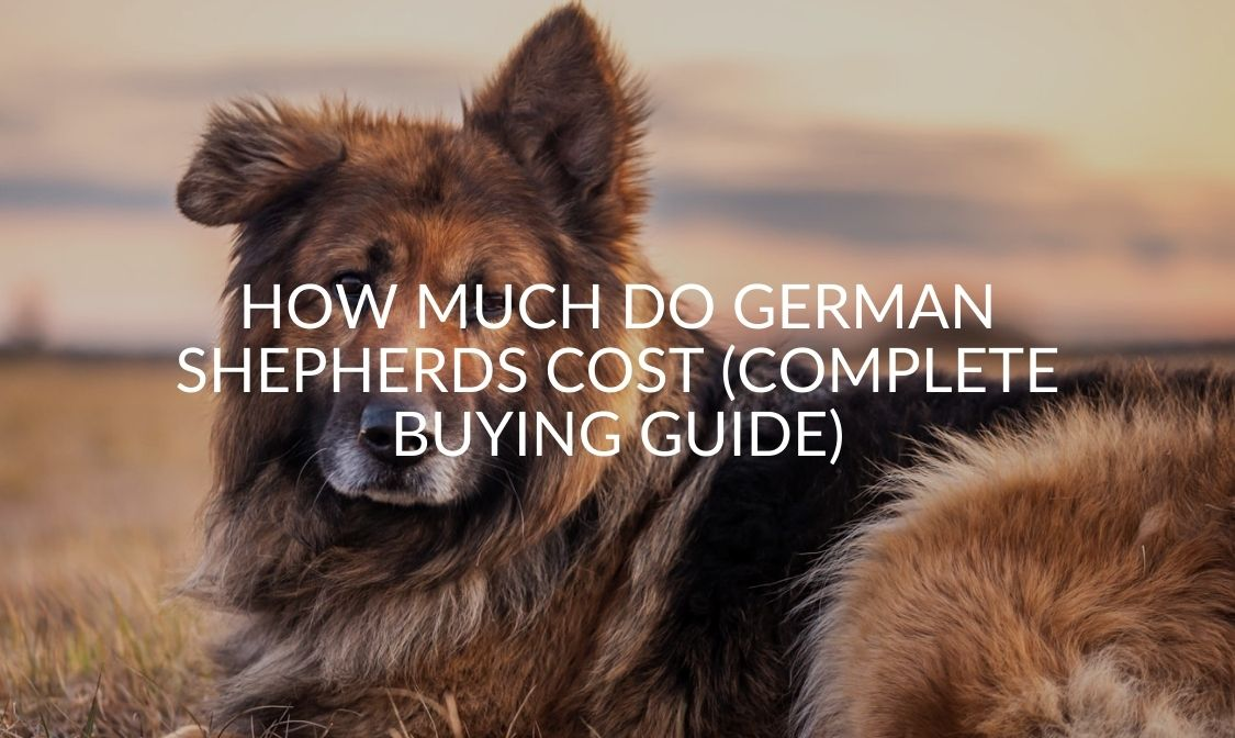 How Much Do German Shepherds Cost (Complete Buying Guide) (1)