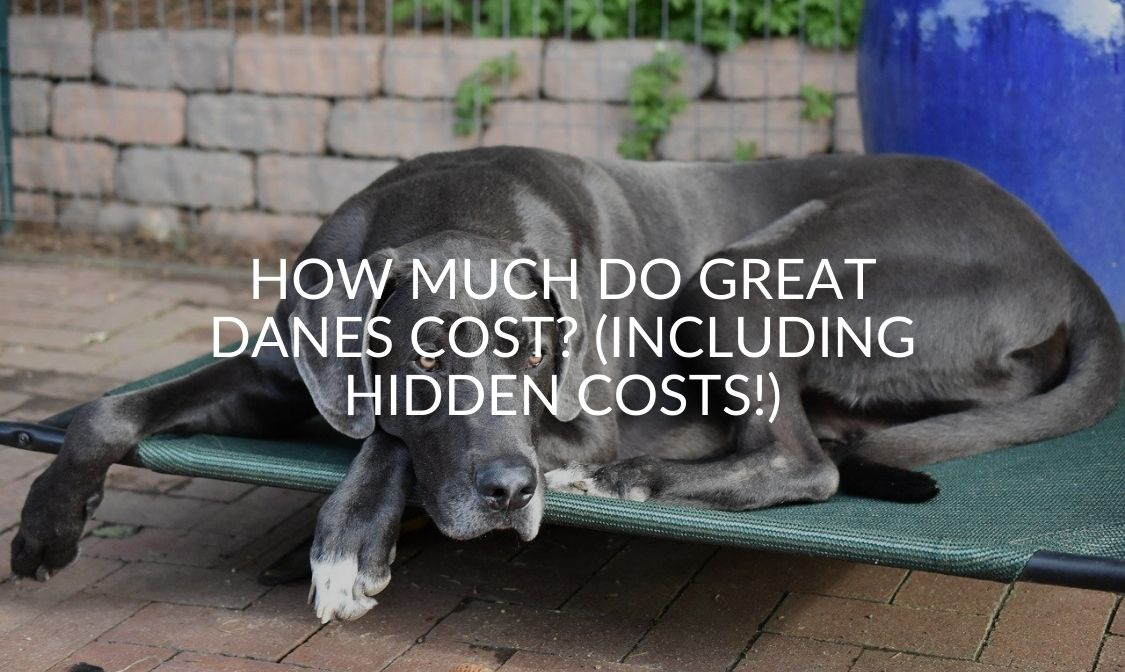 How Much Do Great Danes Cost_ (Including Hidden Costs!)