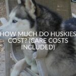 How Much Do Huskies Cost? (Care Costs Included)