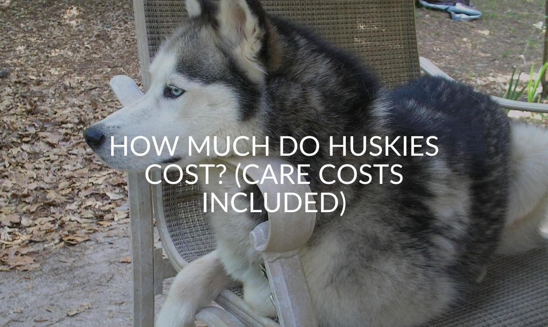 How Much Do Huskies Cost_ (Care Costs Included)
