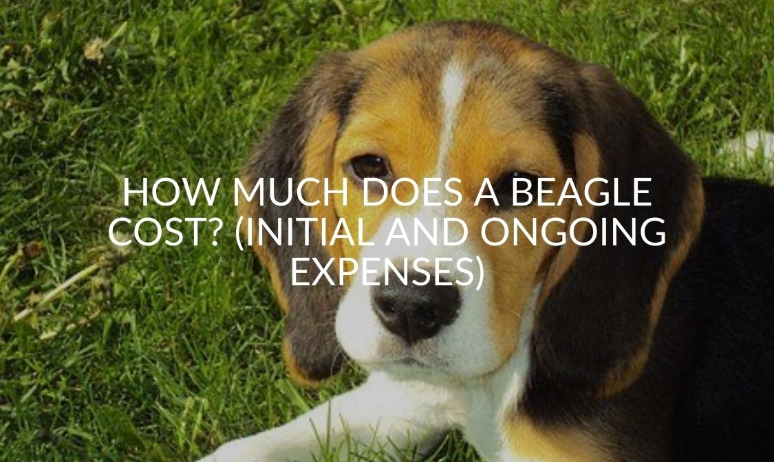 How Much Does A Beagle Cost_ (Initial And Ongoing Expenses)