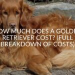 How Much Does A Golden Retriever Cost? (Full Breakdown Of Costs)