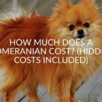 How Much Does A Pomeranian Cost? (Hidden Costs Included)