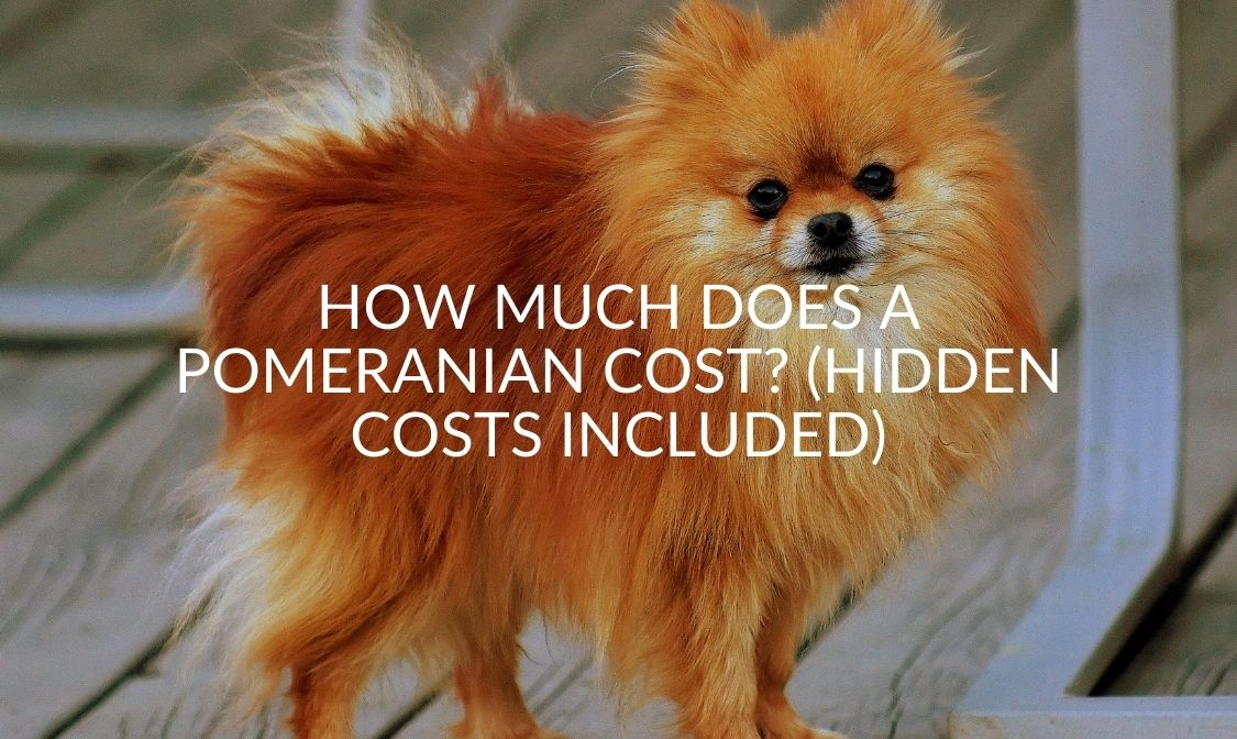 How Much Does A Pomeranian Cost_ (Hidden Costs Included)