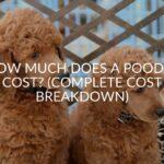 How Much Does A Poodle Cost? (Complete Cost Breakdown)