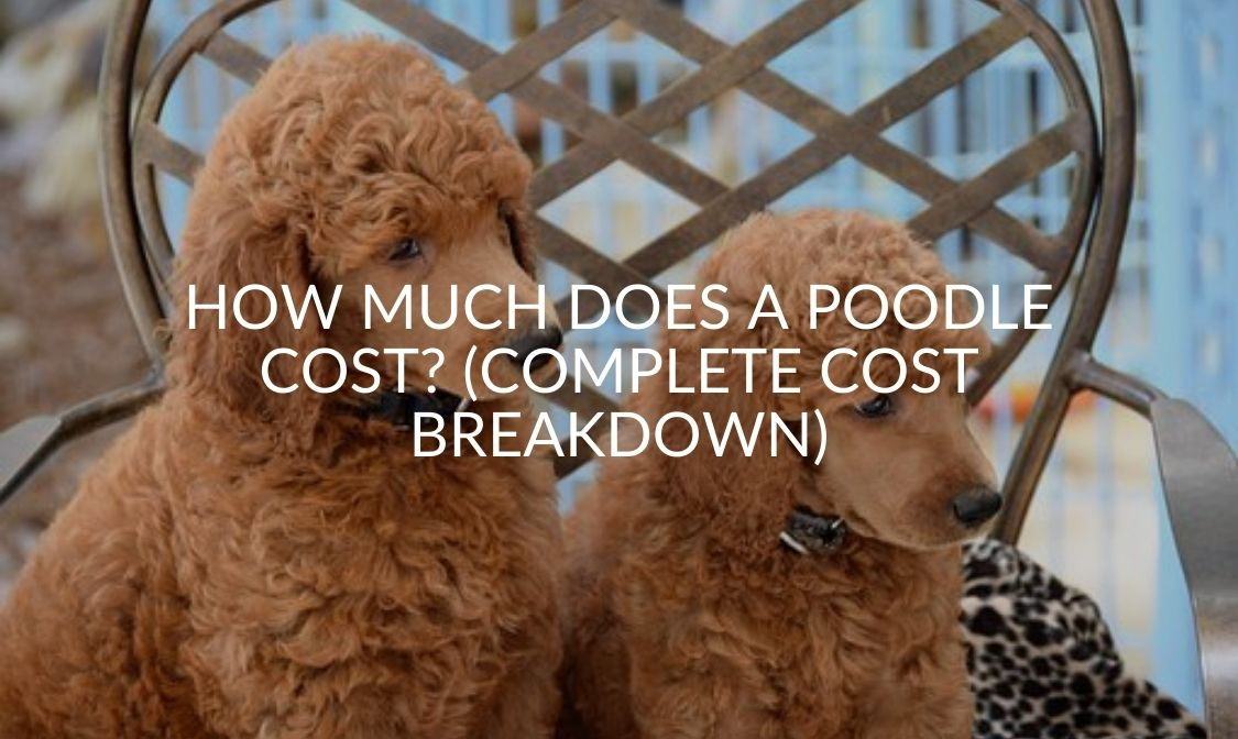 How Much Does A Poodle Cost_ (Complete Cost Breakdown)