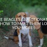 Are Beagles Affectionate? (& How To Make Them Love You More!)