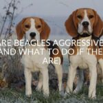 Are Beagles Aggressive? (And What To Do If They Are)