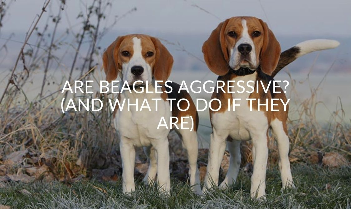 Are Beagles Aggressive_ (And What To Do If They Are)