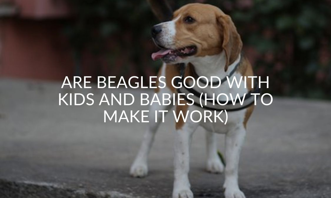 Are Beagles Good With Kids And Babies (How To Make It Work)