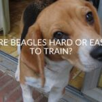 Are Beagles Hard or Easy to Train? (And Training Tips)