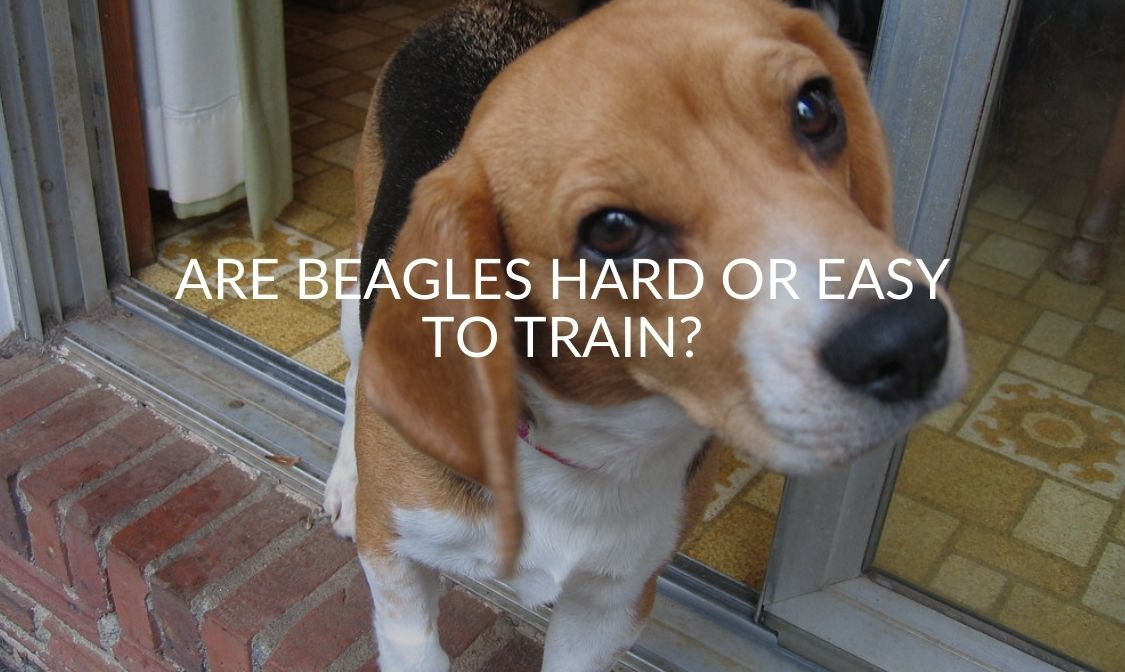 Are Beagles Hard or Easy to Train_