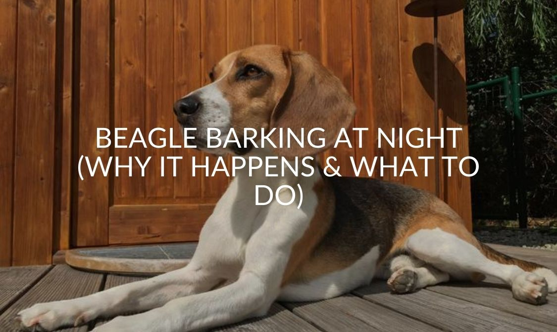 Beagle Barking At Night (Why It Happens & What To Do)