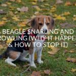Beagle Snarling And Growling (Why It Happens & How To Stop It)