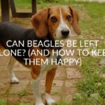Can Beagles Be Left Alone? (And How To Keep Them Happy)