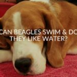 Can Beagles Swim & Do They Like Water?