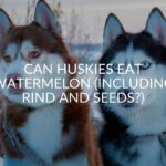 Can Huskies Eat Watermelon (Including Rind And Seeds?)