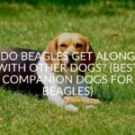 Do Beagles Get Along With Other Dogs? (Best Companion Dogs For Beagles)