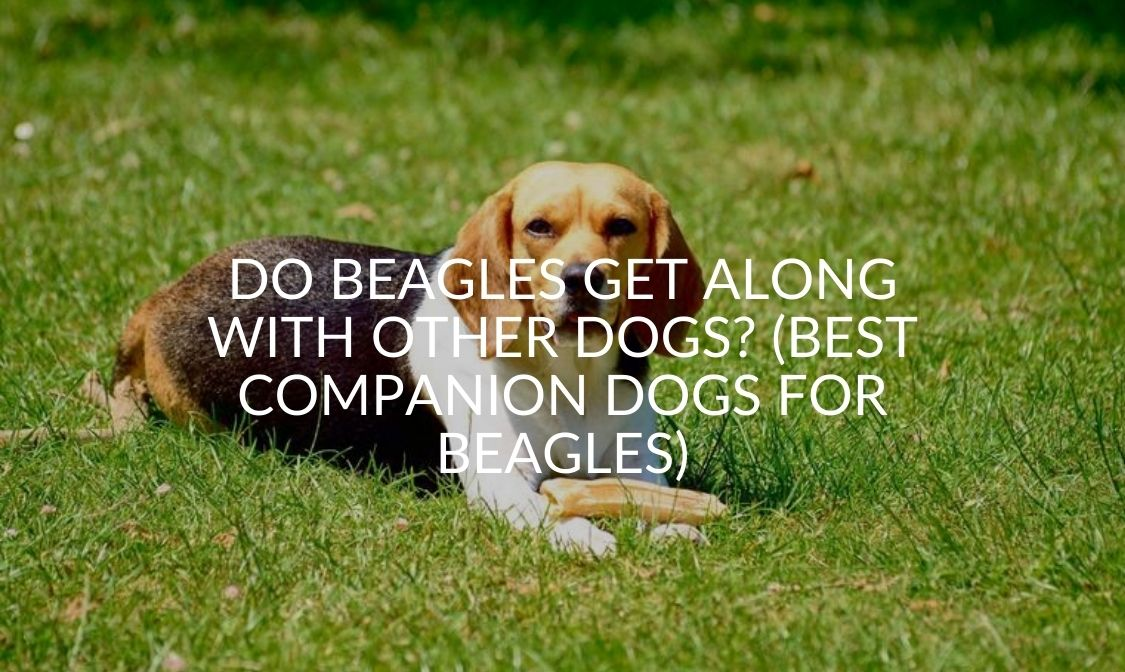 Do Beagles Get Along With Other Dogs_ (Best Companion Dogs For Beagles)
