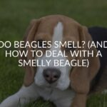 Do Beagles Smell? (And How To Deal With A Smelly Beagle)