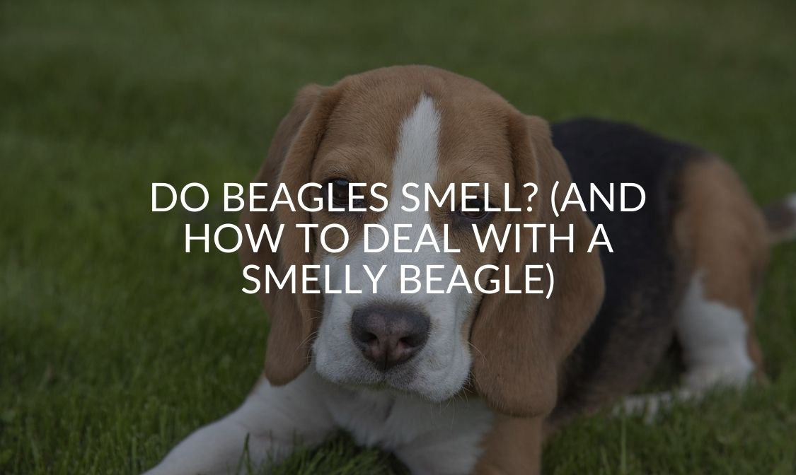 Do Beagles Smell_ (And How To Deal With A Smelly Beagle)