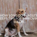 How Long Do Beagles Sleep? (Tips For Improving Sleep)