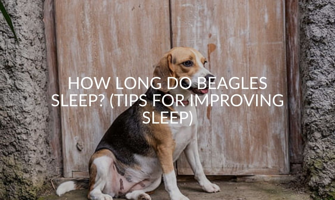 How Long Do Beagles Sleep_ (Tips For Improving Sleep)