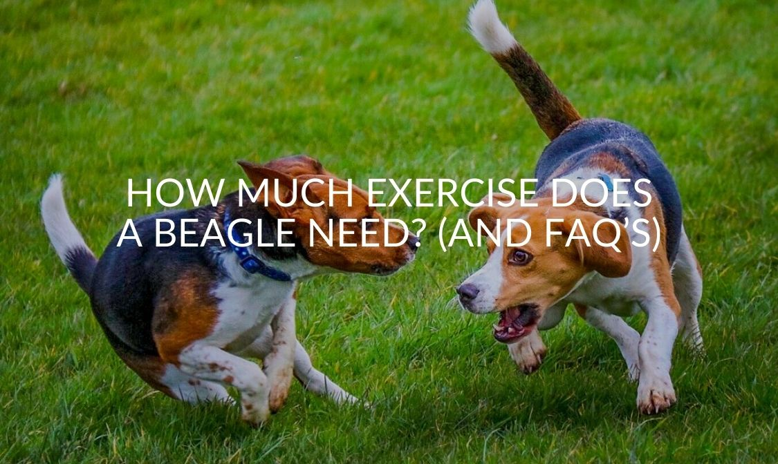 How Much Exercise Does A Beagle Need_ (And FAQ's)