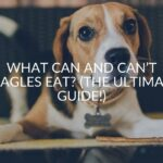 What Can And Can't Beagles Eat? (The Ultimate Guide!)