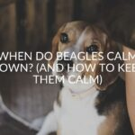 When Do Beagles Calm Down? (And How To Keep Them Calm)