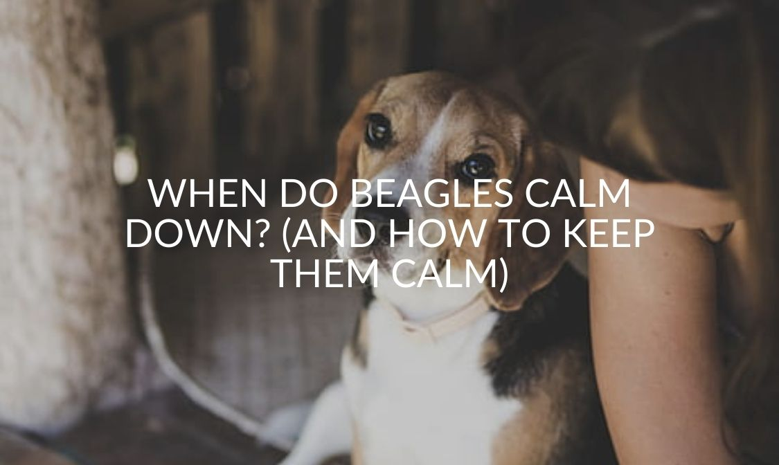 When Do Beagles Calm Down_ (And How To Keep Them Calm)