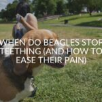 When Do Beagles Stop Teething (And 6 Tips To Ease Their Pain)