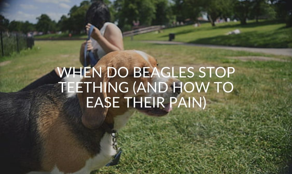 When Do Beagles Stop Teething (And How To Ease Their Pain)