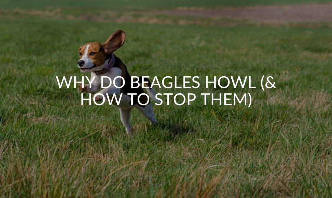 Why Do Beagles Howl (& How To Stop Them)