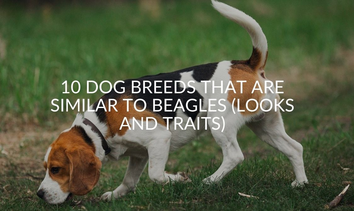 10 Dog Breeds That Are Similar to Beagles (Looks AND Traits)
