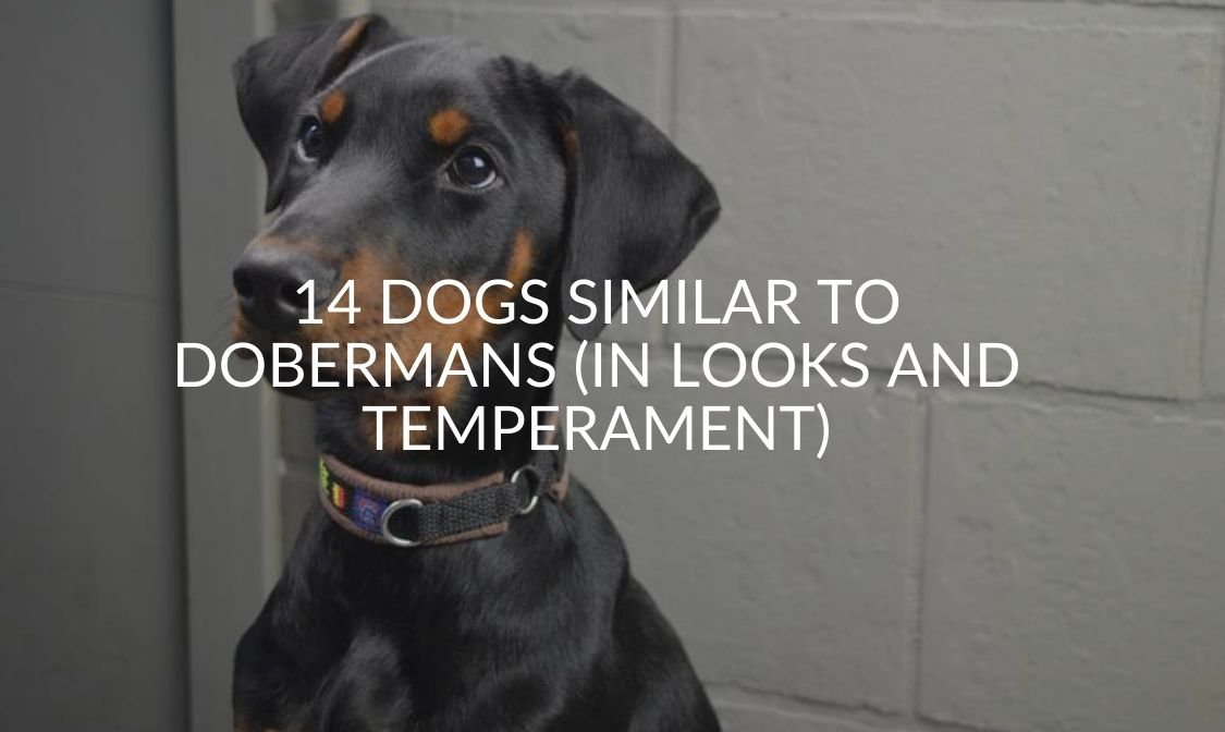14 Dogs Similar To Dobermans (In Looks And Temperament)