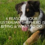 6 Reasons Your Australian Shepherd Is Biting & What To Do