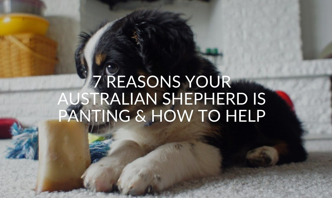 7 Reasons Your Australian Shepherd Is Panting & How To Help