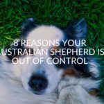 8 Reasons Your Australian Shepherd Is Out Of Control
