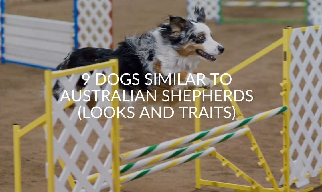 9 Dogs Similar To Australian Shepherds (Looks And Traits)