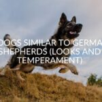 9 Dogs Similar to German Shepherds (Looks And Temperament)